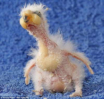 Baby Kea Parrot