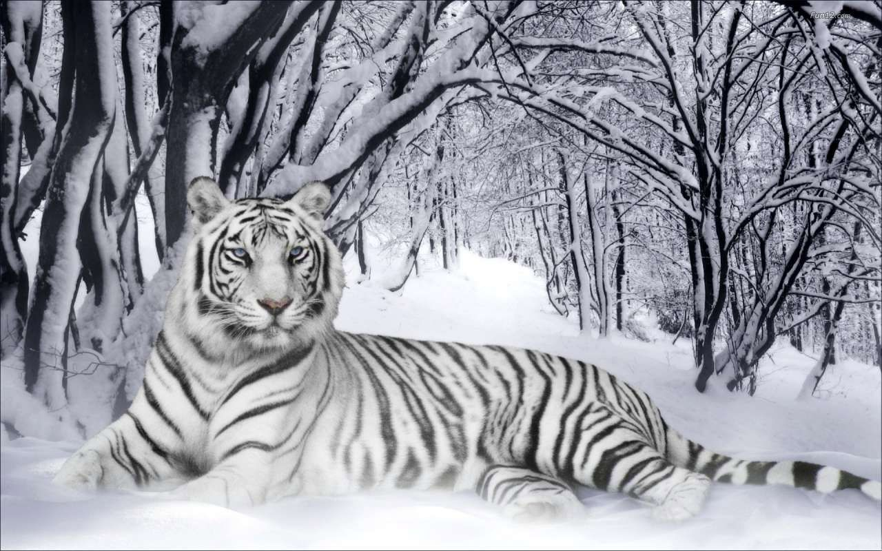Fond D Ecran Hd Tigre Blanc Animaux Images De Lion Et