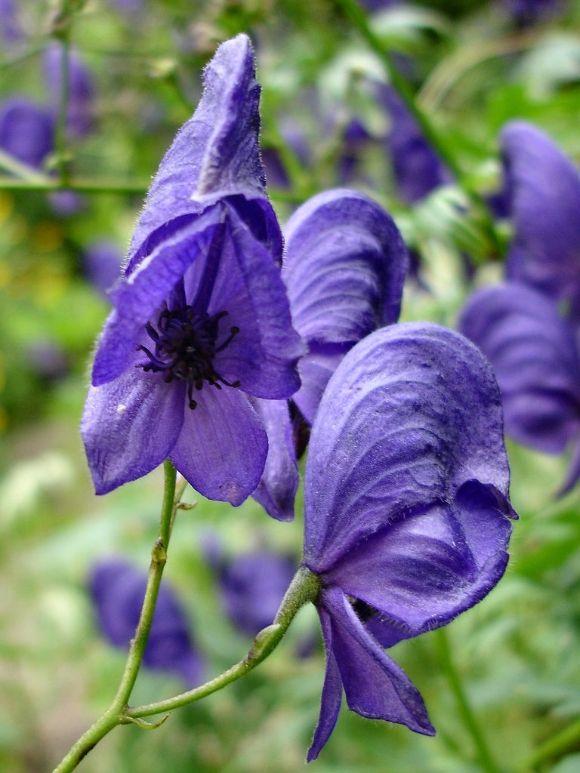 Aconitum Napellus Monk S Hood Or Wolf S Bane Organic Plants Flowers Perennials Plant Fungus