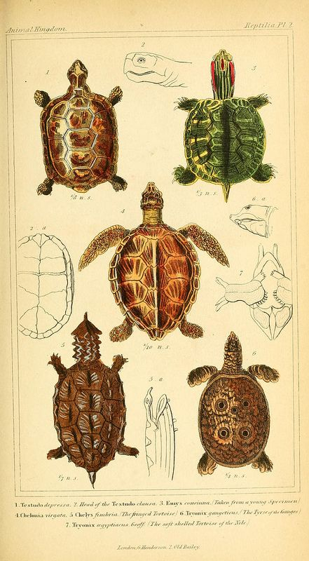 turtles (Biodiversity Library, flickr) | Ilustraciones | Pinterest ...