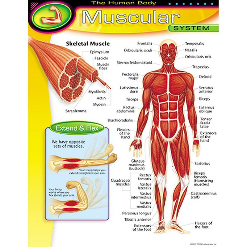 Chart Muscular System  Human Body Learn Spanish And Activities