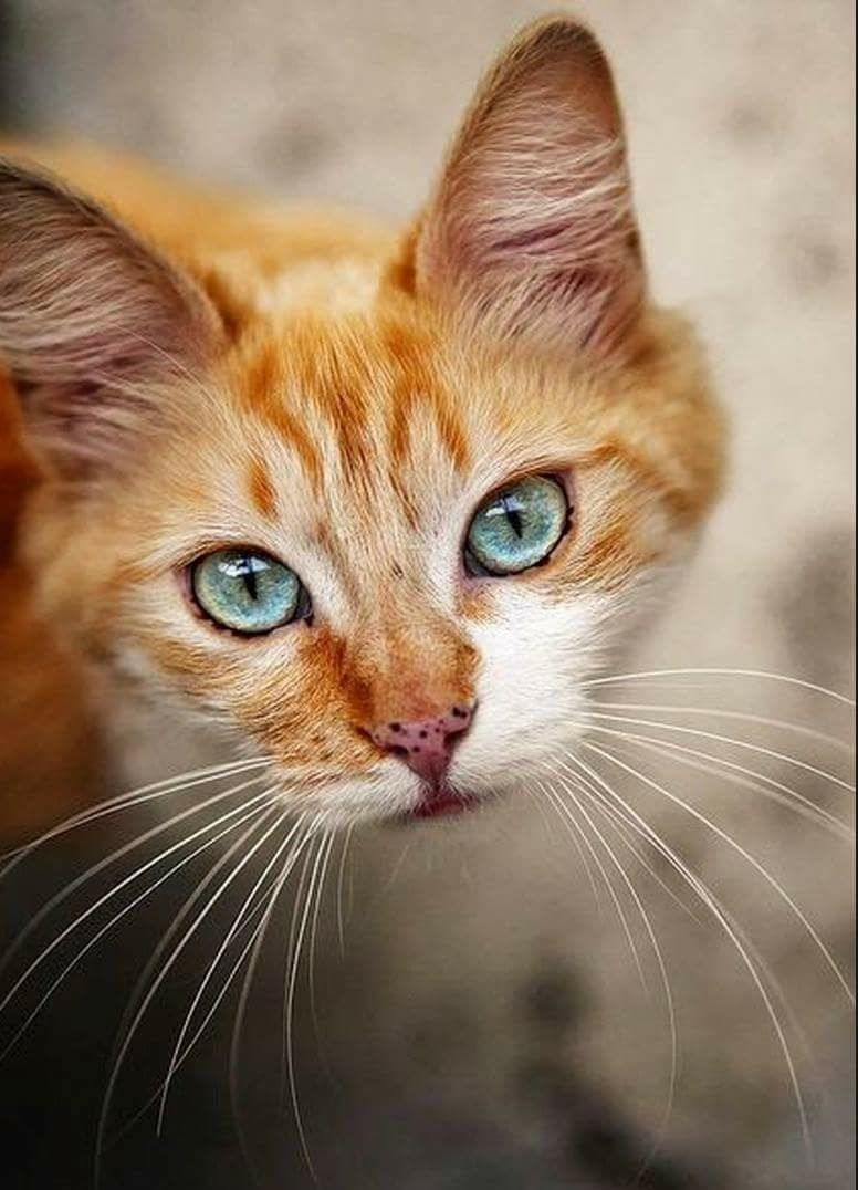 Can A Cat Spray After Being Spayed Animale Domestico Gatti Animali