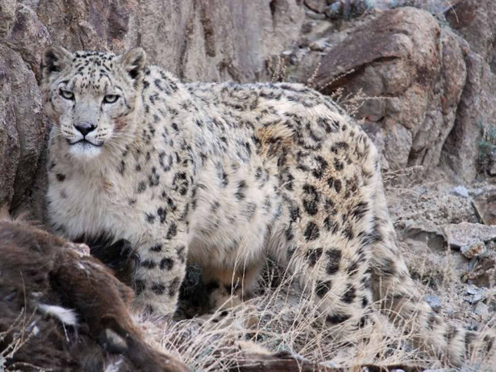 evergreen snow leopard wallpapers and backgrounds | hd wallpapers