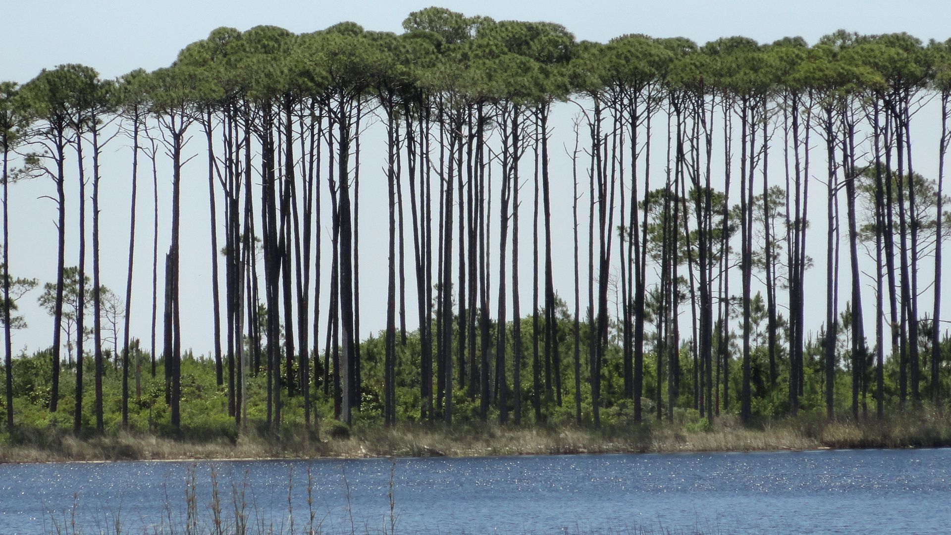 The Canopy Trees At Western Lake In Watercolor Florida