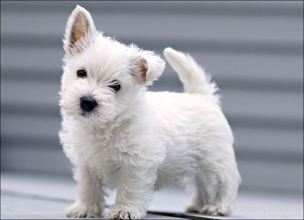 Love The One Floppy Ear Terrier Branco West Highland Terrier