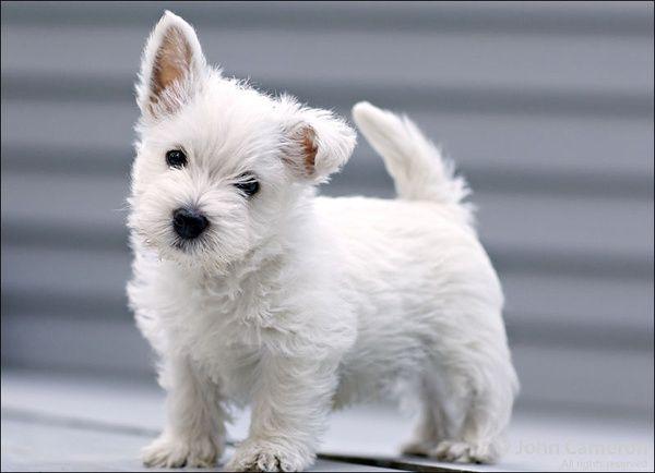 Love the one floppy ear! | Westies | Westie puppies ...