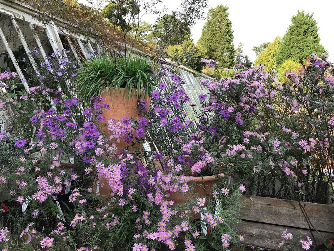 Sitting on the sales bench of the The Walled Nursery, Kent, UK, were a display of the autumn flowering herbaceous perennials including Symphyotrichum laeve Orpheus (aster) with darks stems covered in spays of lavender-blue flowerheads, and Symphyotrichum ericoides 'Pink Star' (heath aster) with branching stems covered with light pink, starry flowers.  #TheInstagramGarden #gardening #garden #flowers #plants #nature #flower #gardens #growyourown #gardener #green #photography #gardendesign #gardenl