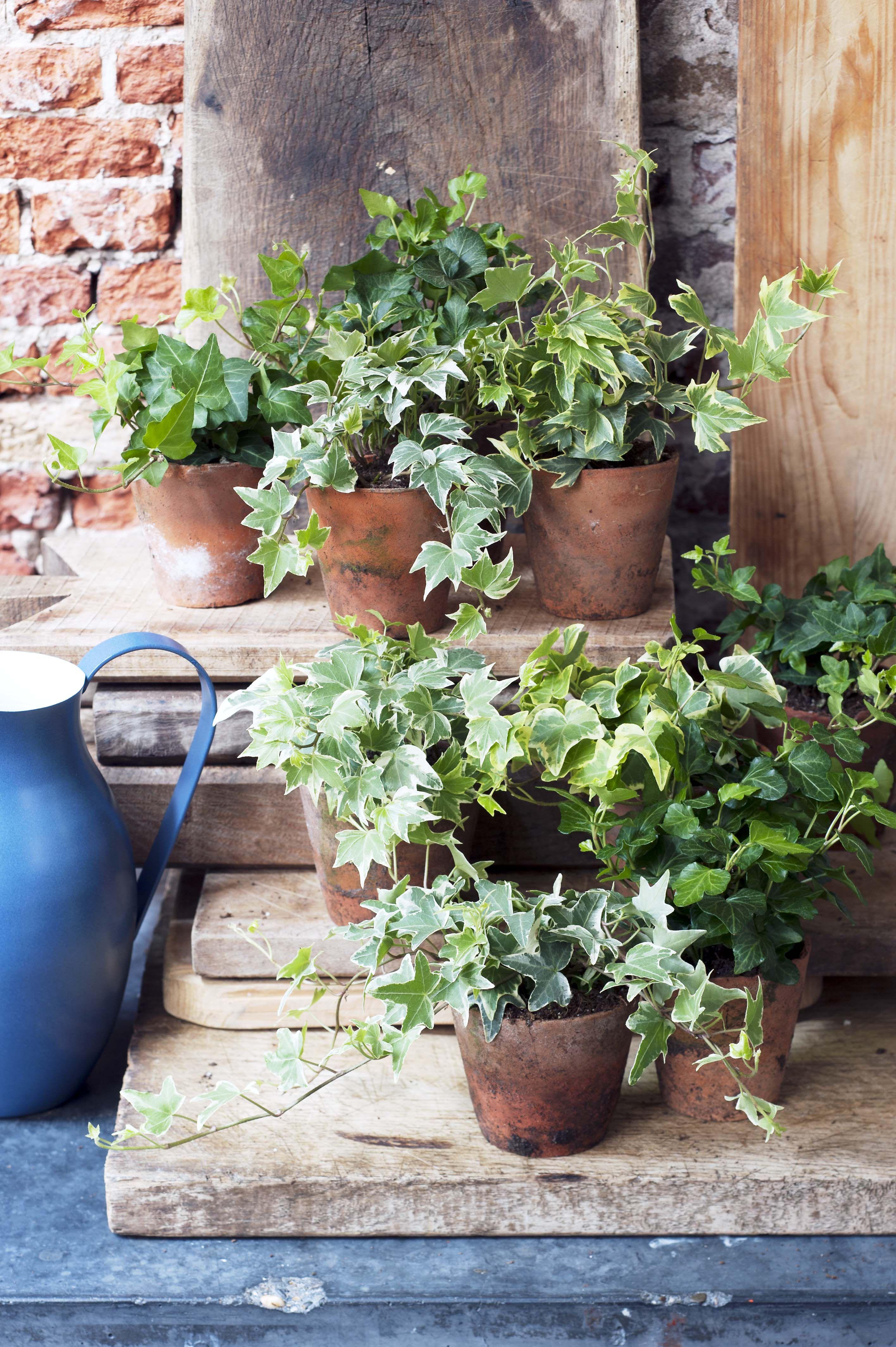 Gr Nes Highlight Im Haus #Pflanzenfreude #Efeu #Ivy #Zimmerpflanzen Garden