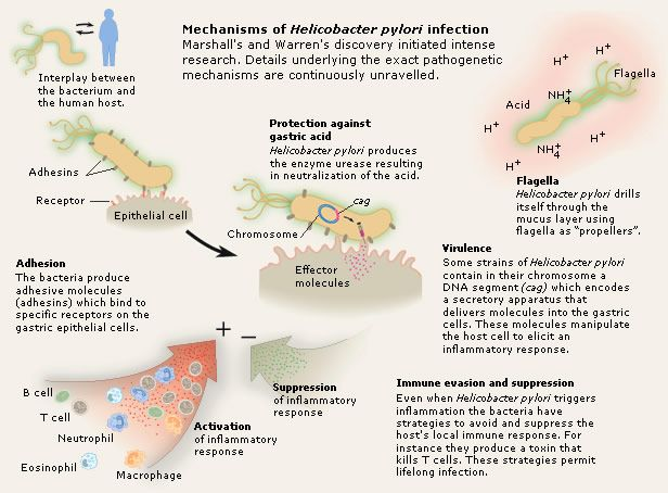 Dissertation helicobacter infection pylori