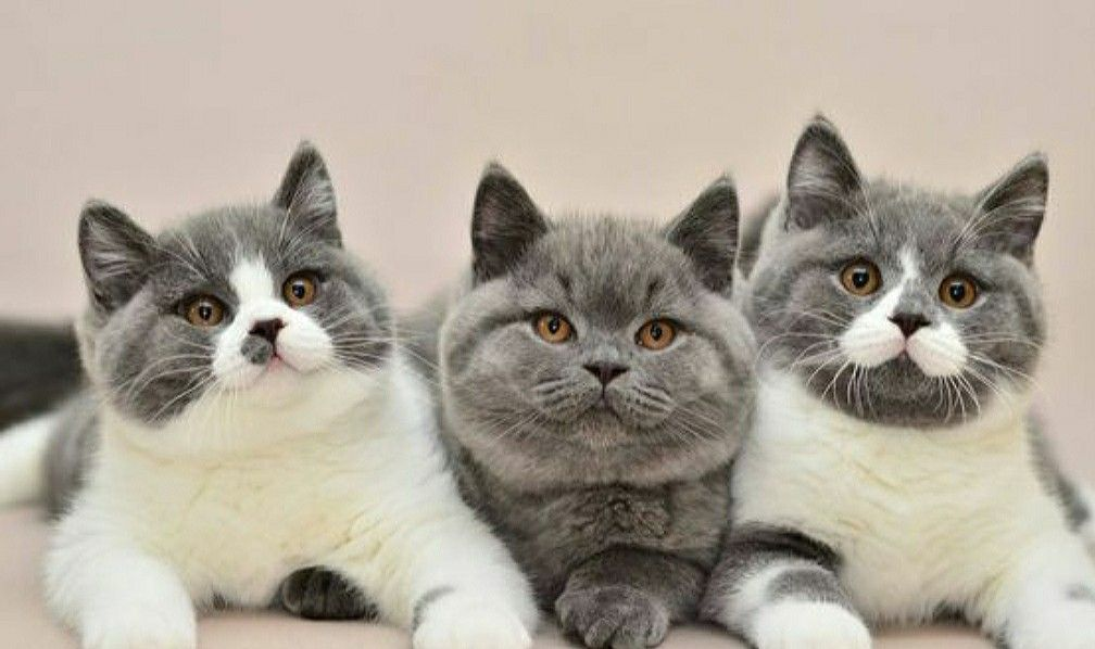 British Shorthairs By Eileen Cagle Kittens Cutest Cute Cats Beautiful Cats