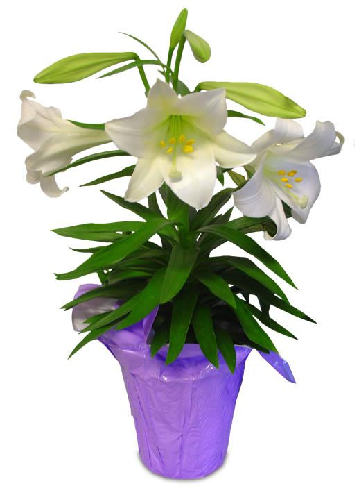 easter lilies clip art free easter projects to try pinterest rh za pinterest com easter lily clip art free easter lily clip art border