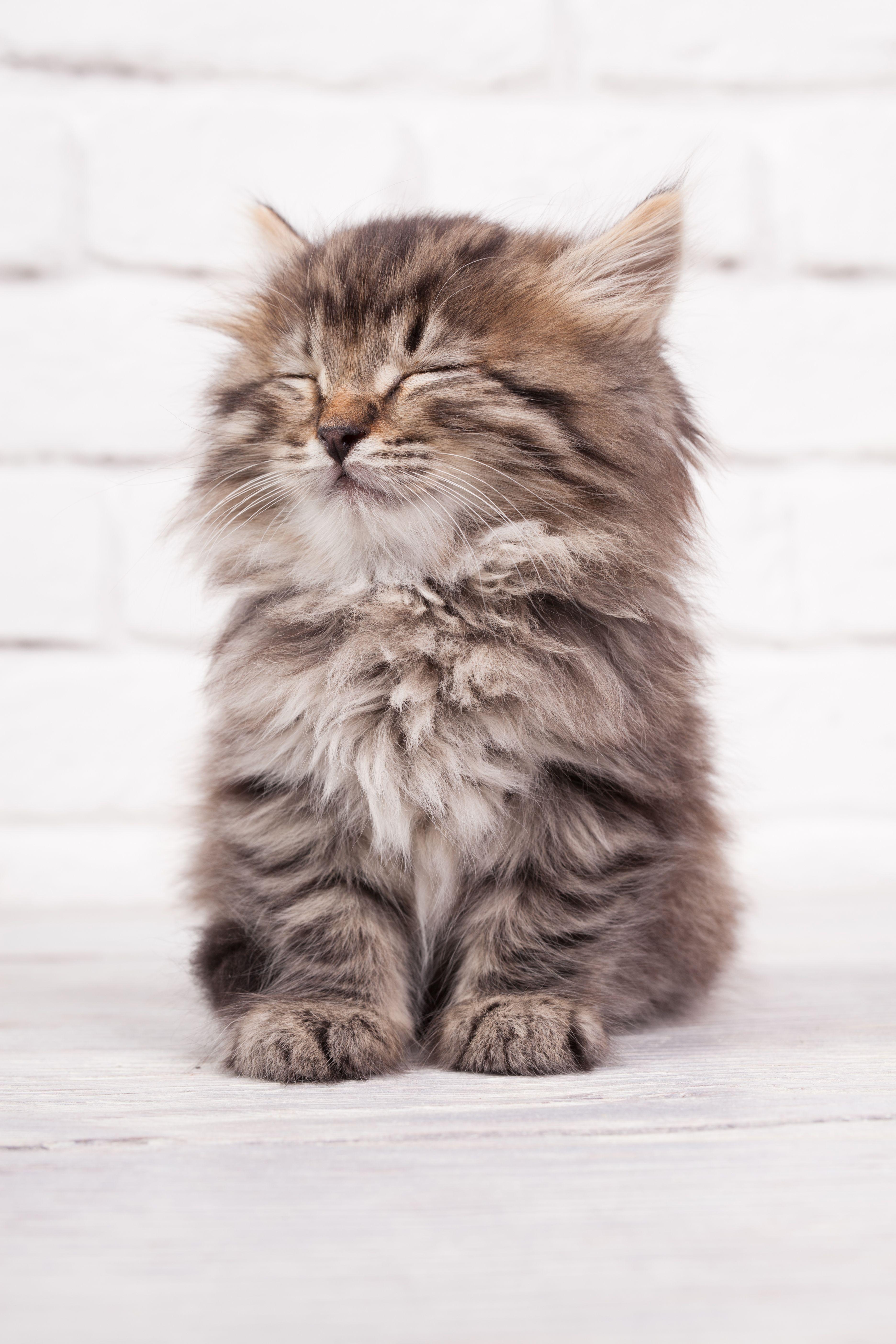Very Cute Fluffy Kitten Cat Kitten Cute Beautifulcat In 2020 Kittens Cutest Cute Fluffy Kittens Kittens Cutest Baby