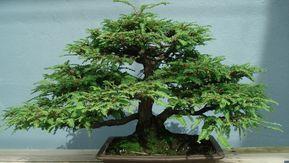 Aprendrem a cuidar un bonsai a casa nostra #bonsaitrees