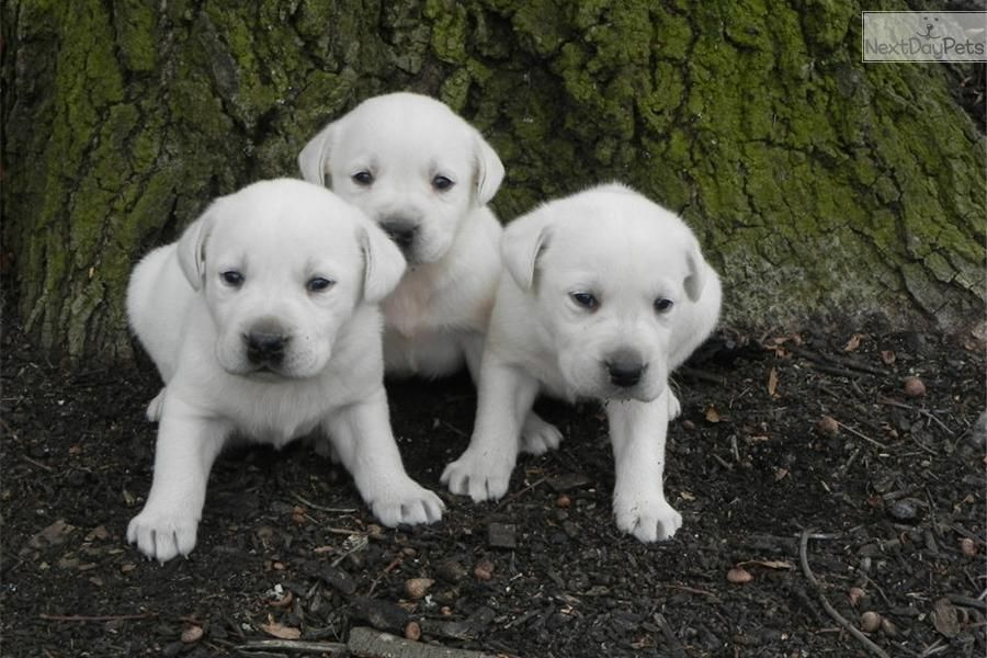 Labrador Retriever For Sale Labrador Labrador Retriever Labrador Retriever Puppies