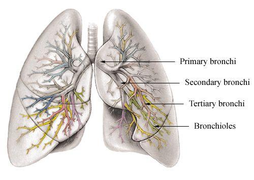 bronchi | ... primary bronchi, secondary bronchi, tertiary bronchi ...