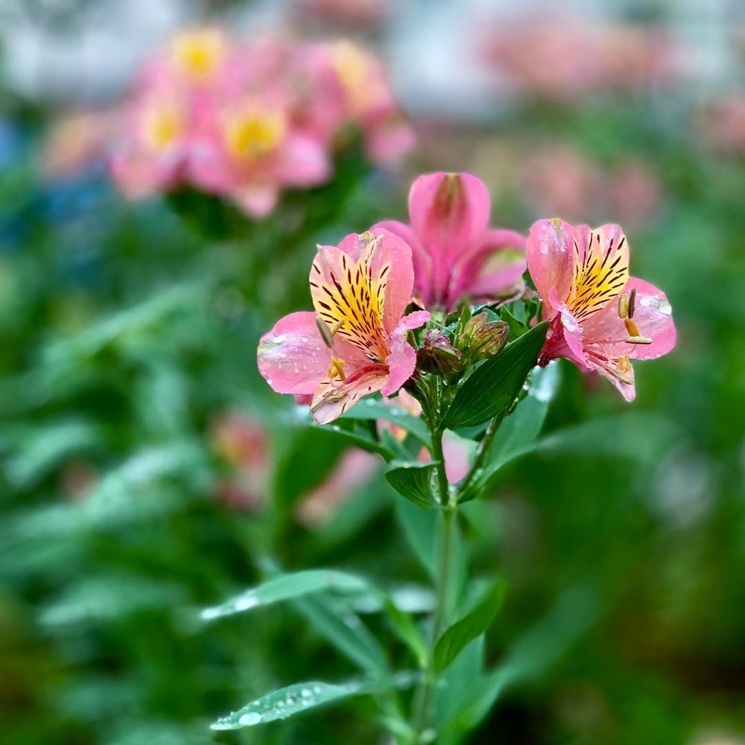 Alstroemeria 12 Of The Most Beautiful Flowers That Start With A Their Secret Meanings Alstroemeri In 2020 Most Beautiful Flowers Beautiful Flowers Flower Meanings