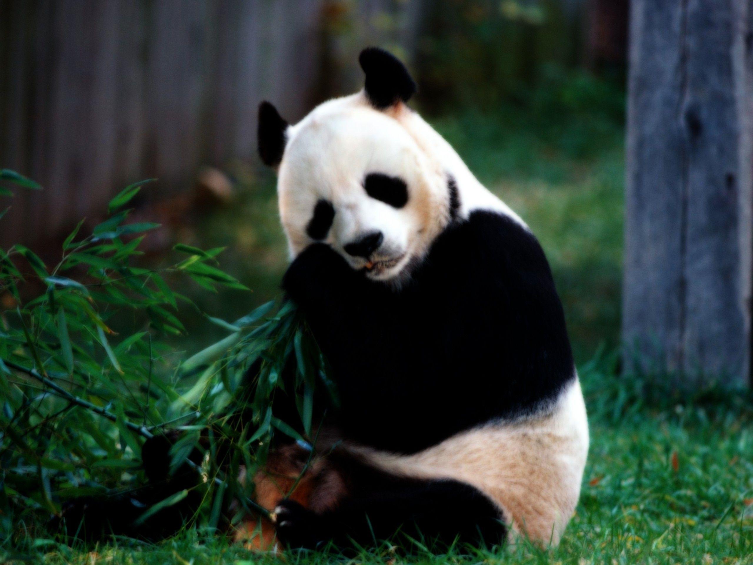 Nature Animals Hd Background 1 Hd Wallpapers Panda Bears