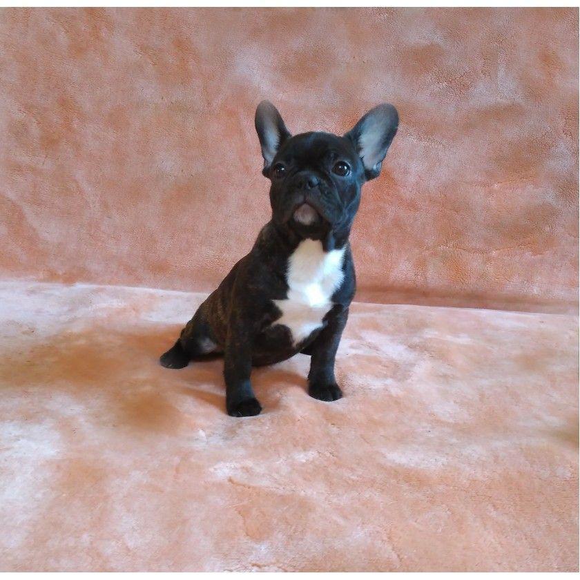 Puppies Of Instagram Puppies Gram Instagram Posts Videos Stories On Stalkinsta Xyz French Bulldog Puppies Bulldog Puppies Dog Breeds