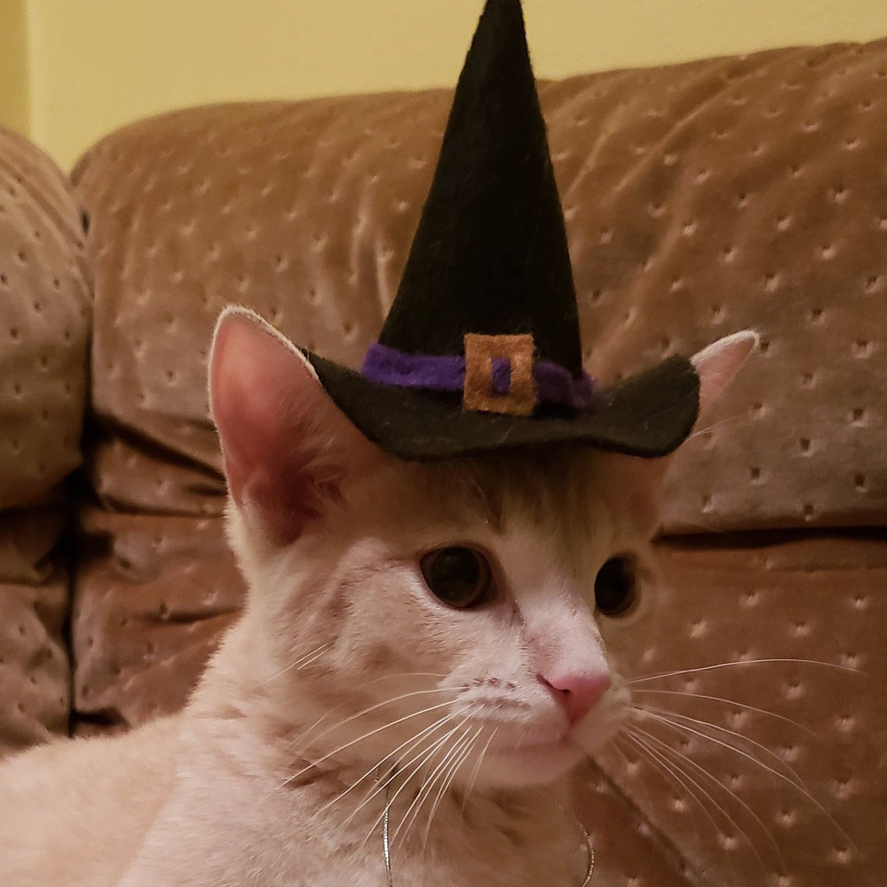 Witch Hat Cat / Kitten Halloween Costume Etsy Kitten