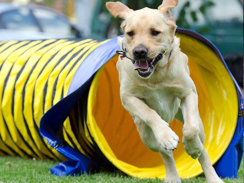 Dog running jigsaw puzzle dog training obedience dog