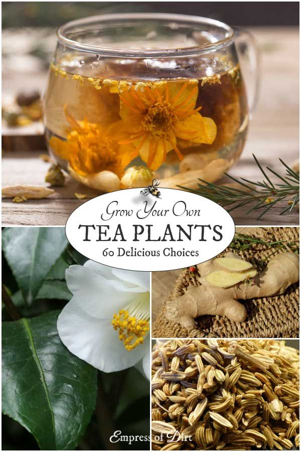 Grow Your Own Plants for Tea 60 Delicious Choices is part of Tea Herb garden - If you love drinking tea and gardening, why not grow your own speciality teas  This list shows a variety of plants you grow for their leaves, flowers, fruits, seeds, and roots to produce delicious, homemade teas