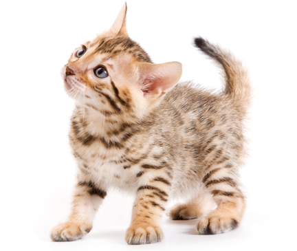 Browse Bengal kittens for sale & cats for adoption