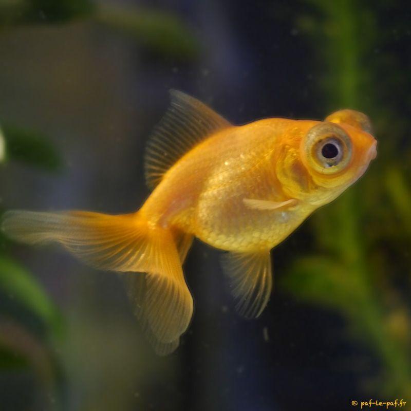 Poisson gros yeux recherche google anti kiwasthme for Gros poisson rouge