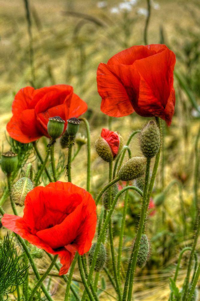 Ich Hange Schone Blumen Mohnblume Rote Mohnblumen