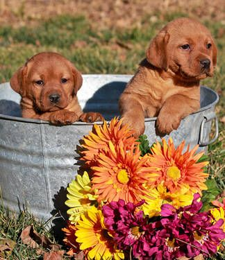 Fox Red English Labrador Puppies Click Here To Find Out