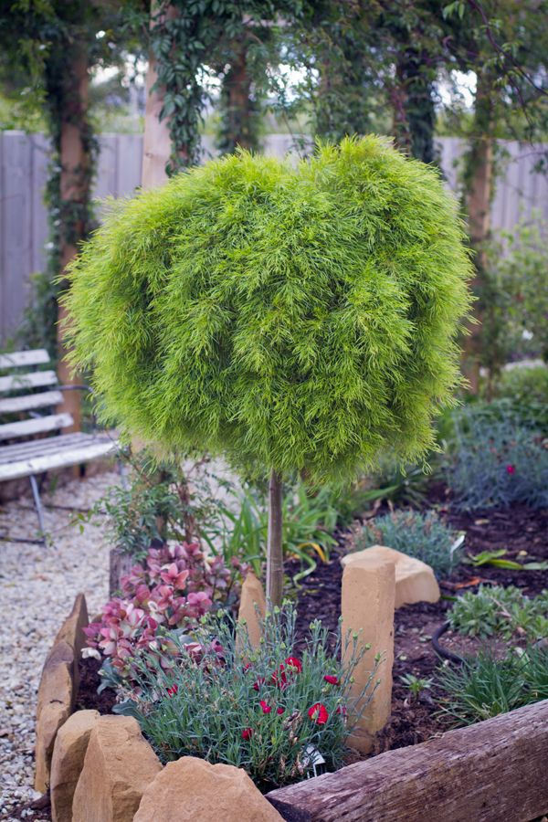 Acacia Limelight Standard Gorgeous Gardens Australian Native