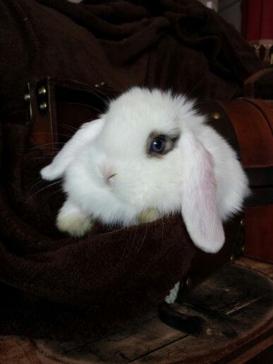 Holland lop babies need to eat alot of fiber to continue