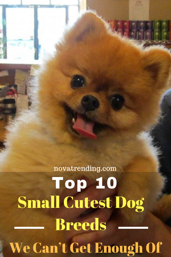 Top 10 Cutest Dog Breeds Small Cutest Dogs We Can T Get Enough Of Cute Dogs Breeds Best Small Dogs Small Dog Breeds