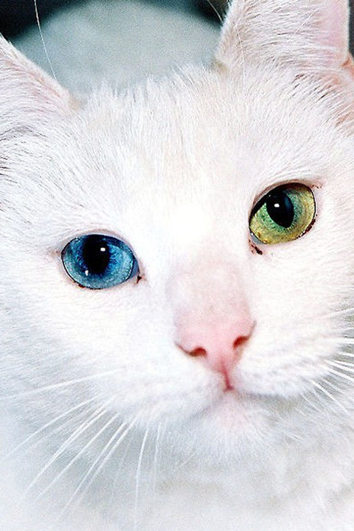 beautiful blue and green Chat blanc yeux bleus, Chats