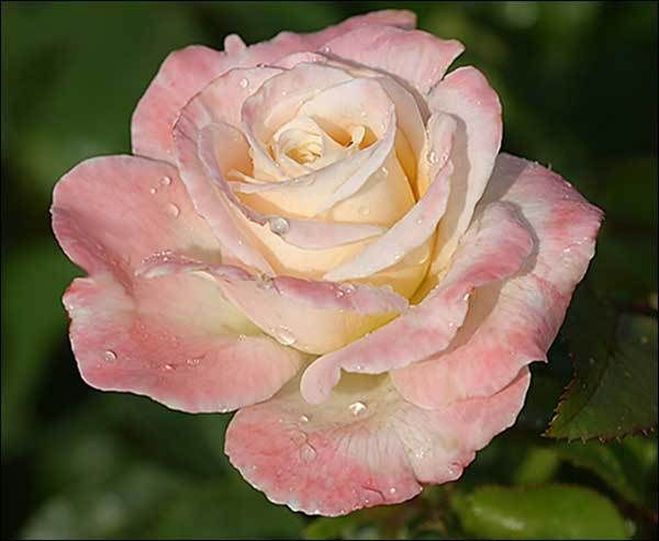 Roses In Garden: Rose, Floribunda Roses, Flowers