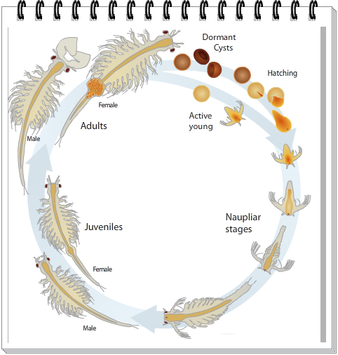 The Brine Shrimp Life Cycle Brine Shrimp Sea Monkeys Life Cycles