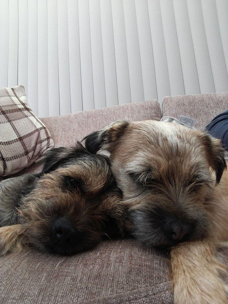 Best Friends Border Terrier Brown Dog Terrier