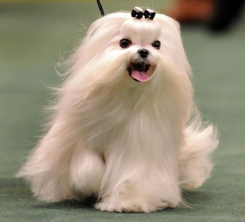 Looove The Long Hair Maltese Puppy Westminster Dog Show Teacup Puppies Maltese