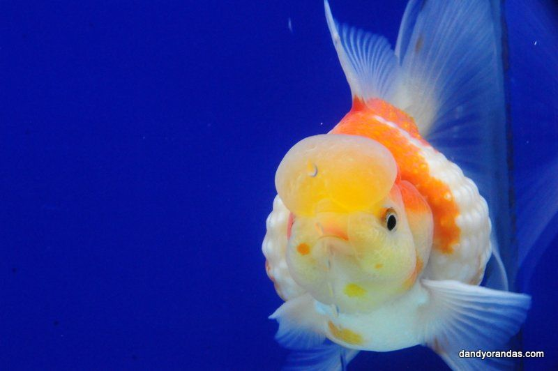 Red White Crown Pearlscale Dandyorandas Com Oranda Goldfish Goldfish Going For Gold