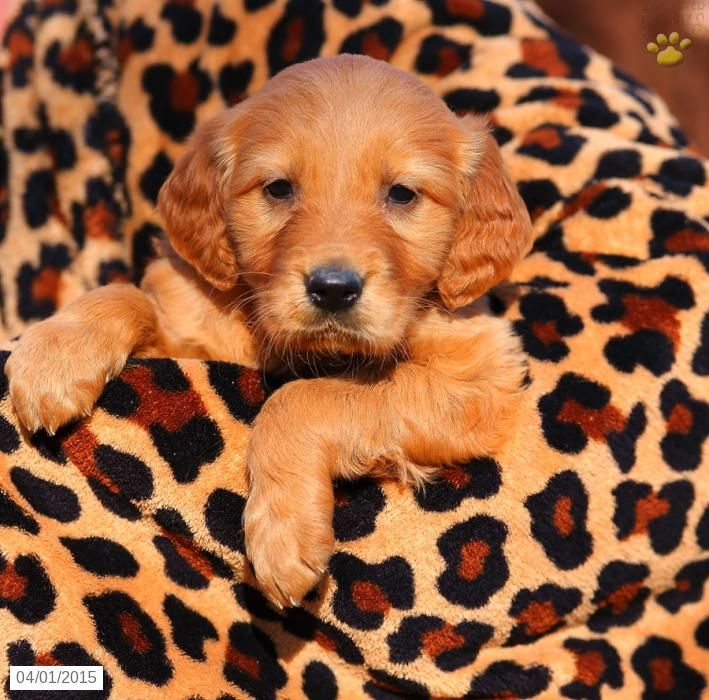 Golden Retriever Mix Puppy For Sale In Pennsylvania Cute Puppies