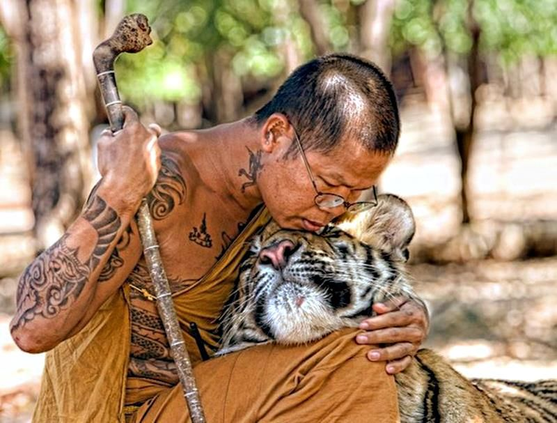 Thai Monk hugging with a tiger..