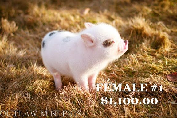 OUTLAWMINIPIGS - Available Piglets