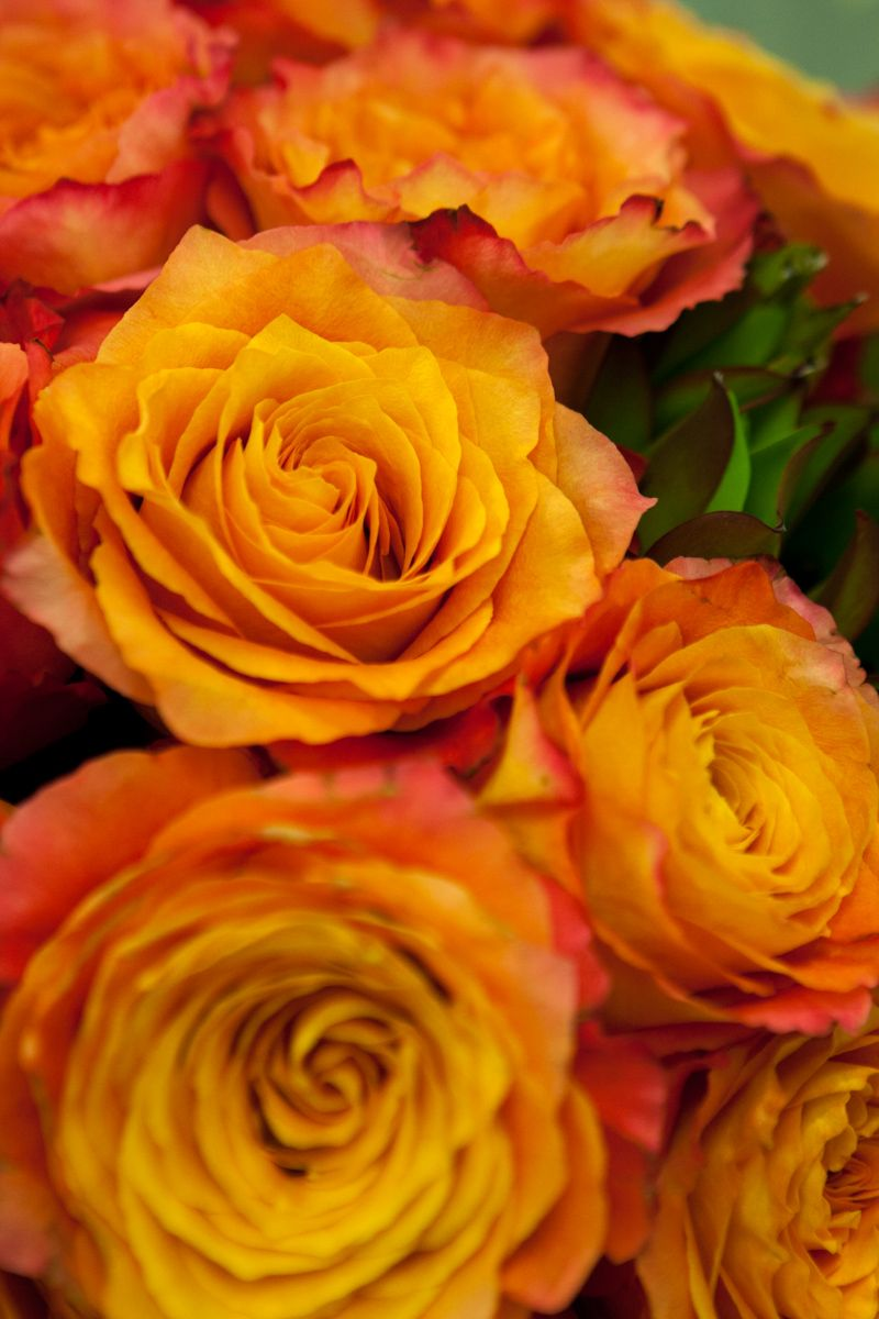 Our Free Spirit Garden roses. Like sunset in a rose