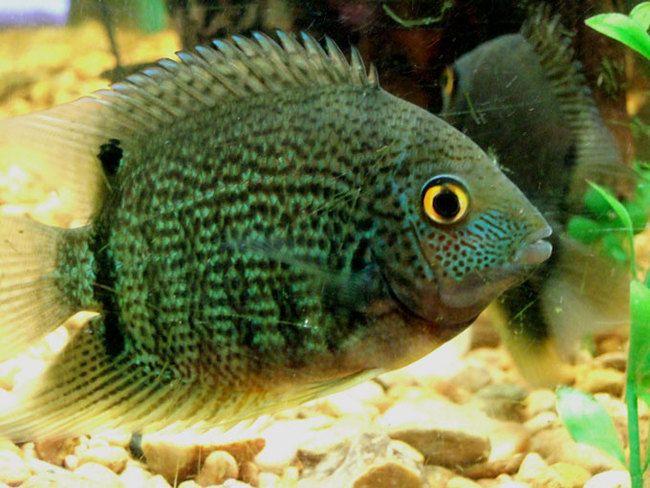 Google Image Result For Http Randysfishpalace Com Yahoo Site Admin Assets Images Green Severum 34202429 Large Jpg Cichlids American Cichlid Cichlid Fish