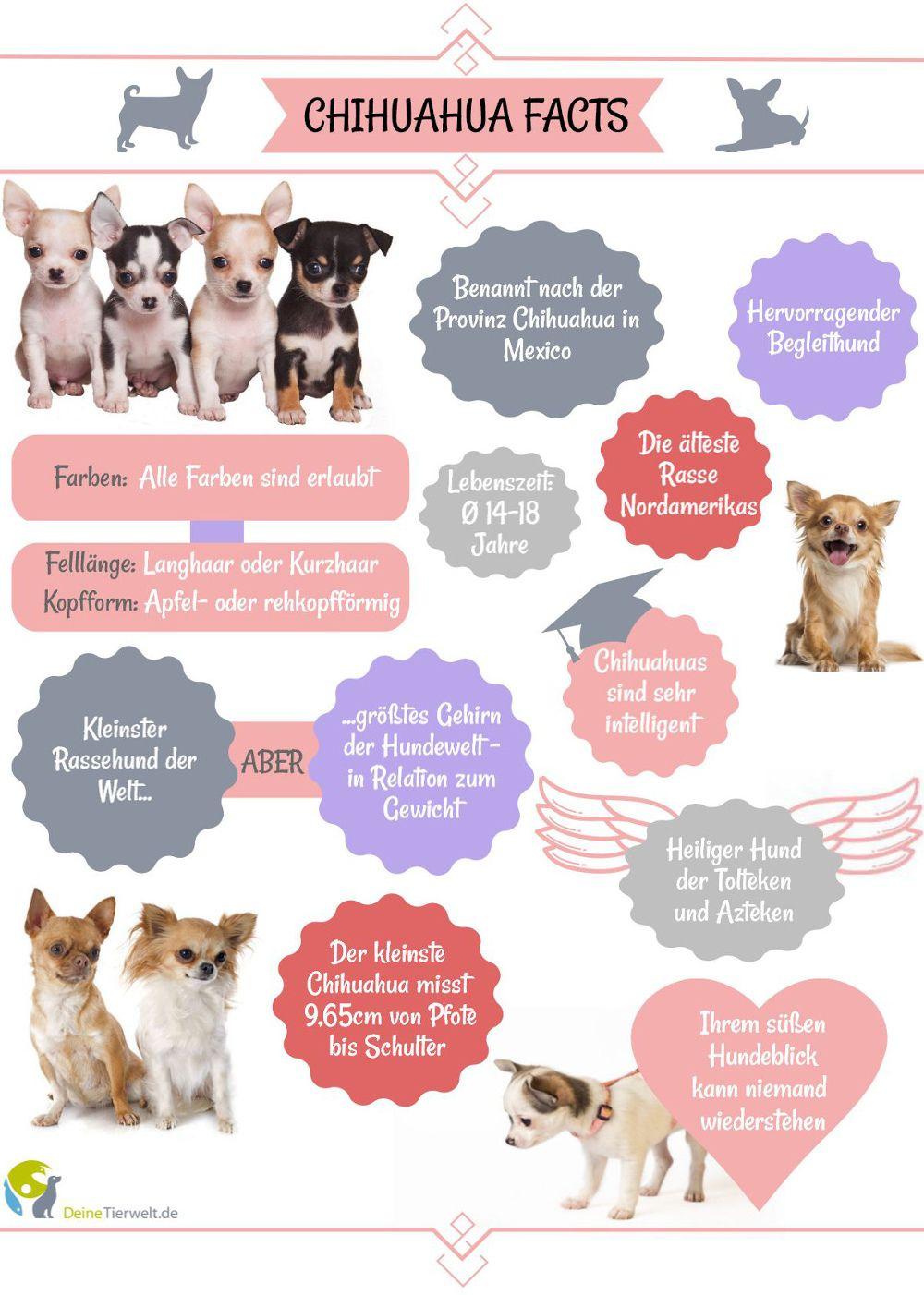 10 Spannende Fakten Uber Den Chihuahua Die Sie Bestimmt Noch Nicht Kennen Chihuahua Begleithund Hundebaby