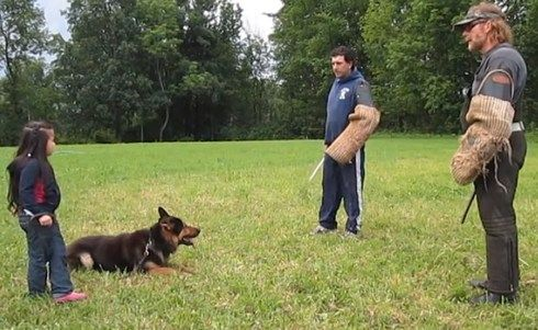 German Shepherd Dog In Training Protects 5 Year Old Girl From Bad