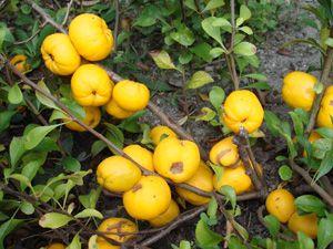 (Chaenomeles japonica odm. Cido)