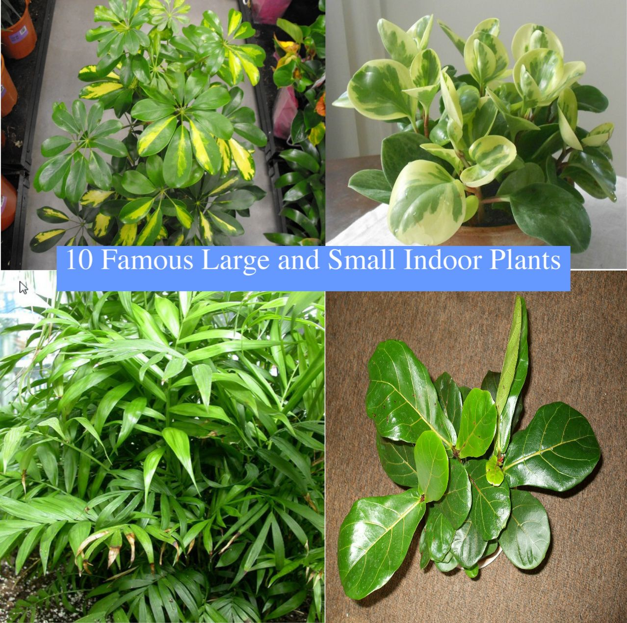 10 Popular Large And Small Indoor Plants. Tall House Plants Can Make A Large  Space