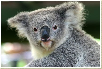 australian wildlife pics healesville sanctuary king. Black Bedroom Furniture Sets. Home Design Ideas
