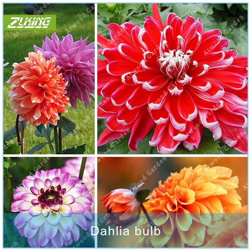 2pcs Colorful Dahlia Bulbs Flower Rare Beautiful Perennial Dahlia Flower Bulbs Seeds Flower Seeds Garden Bulbs Bonsai Seeds