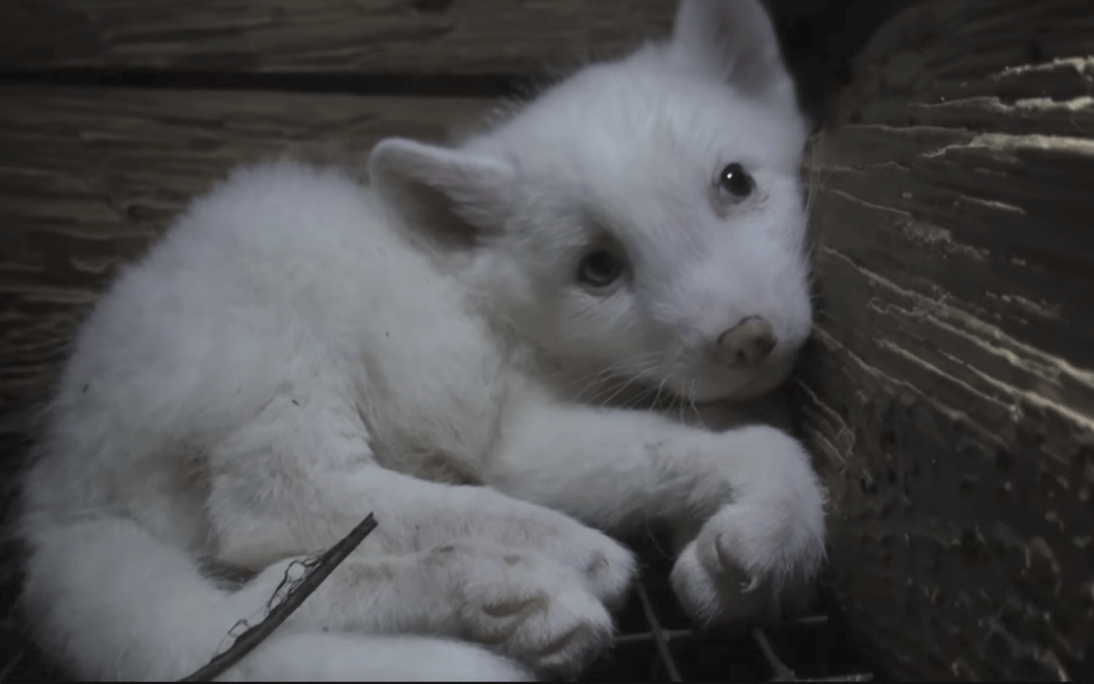 Never Buy Fur Animal Defenders International Adi Recently Released A Short Filmled A Lifetime That Tells The Story Of Two Fo Brothers Borys